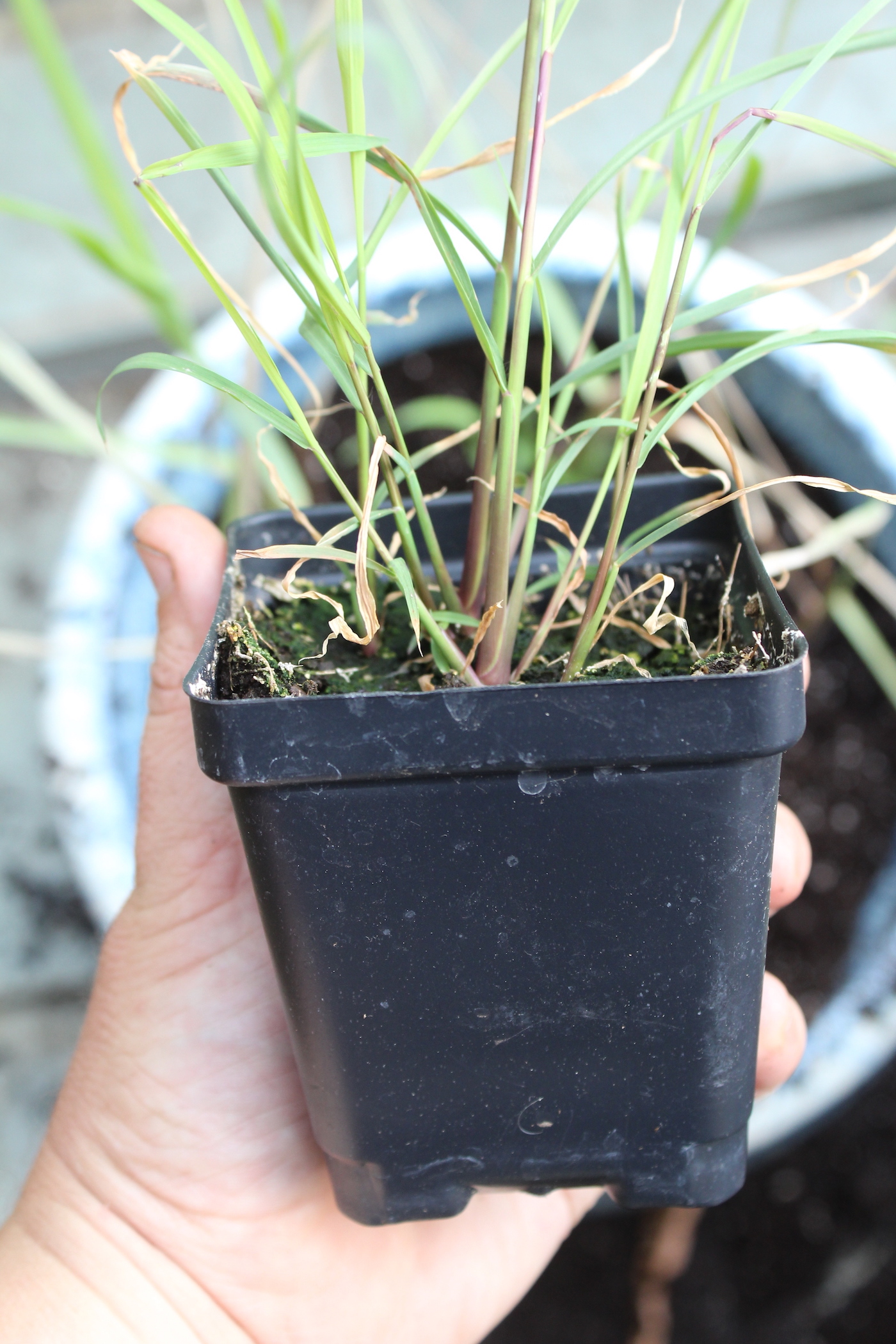 How To Grow Lemongrass Indoors Or Outside