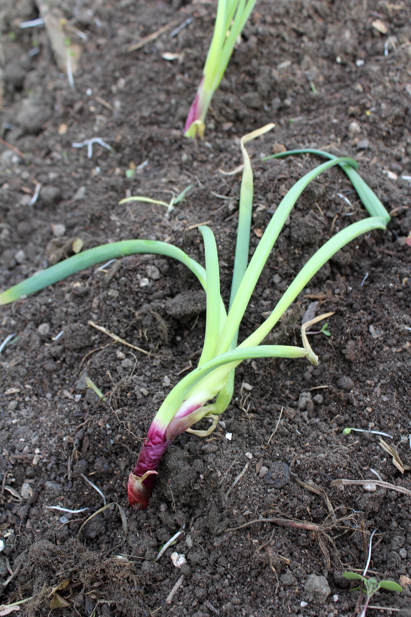 Sprouted Onion Regrowing In The Garden