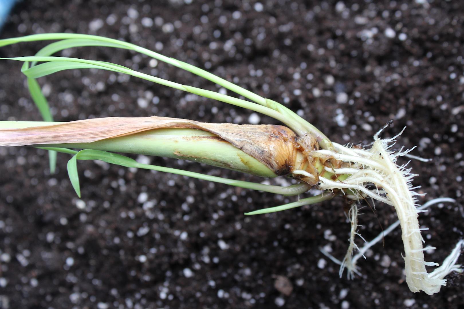 Growing Lemongrass from Cuttings