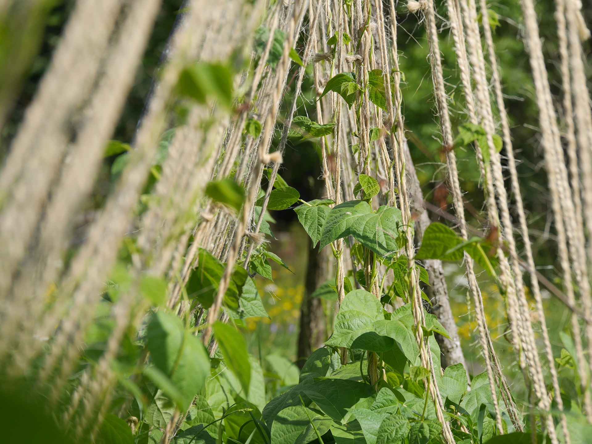 String Trellis for Pole Beans