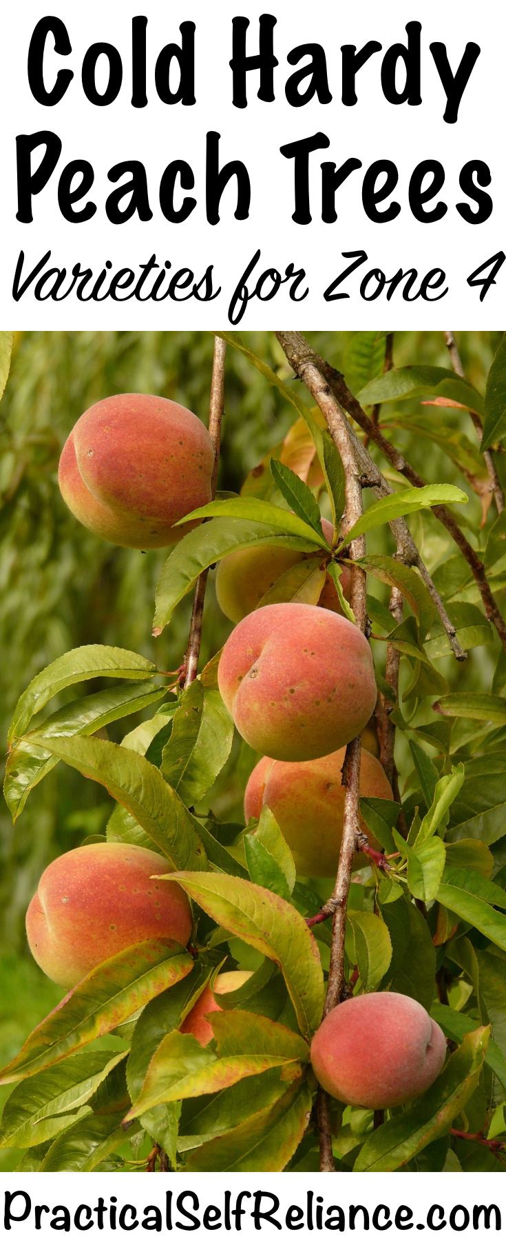 Cold Hardy Peach Tree Varieties for Zone 4