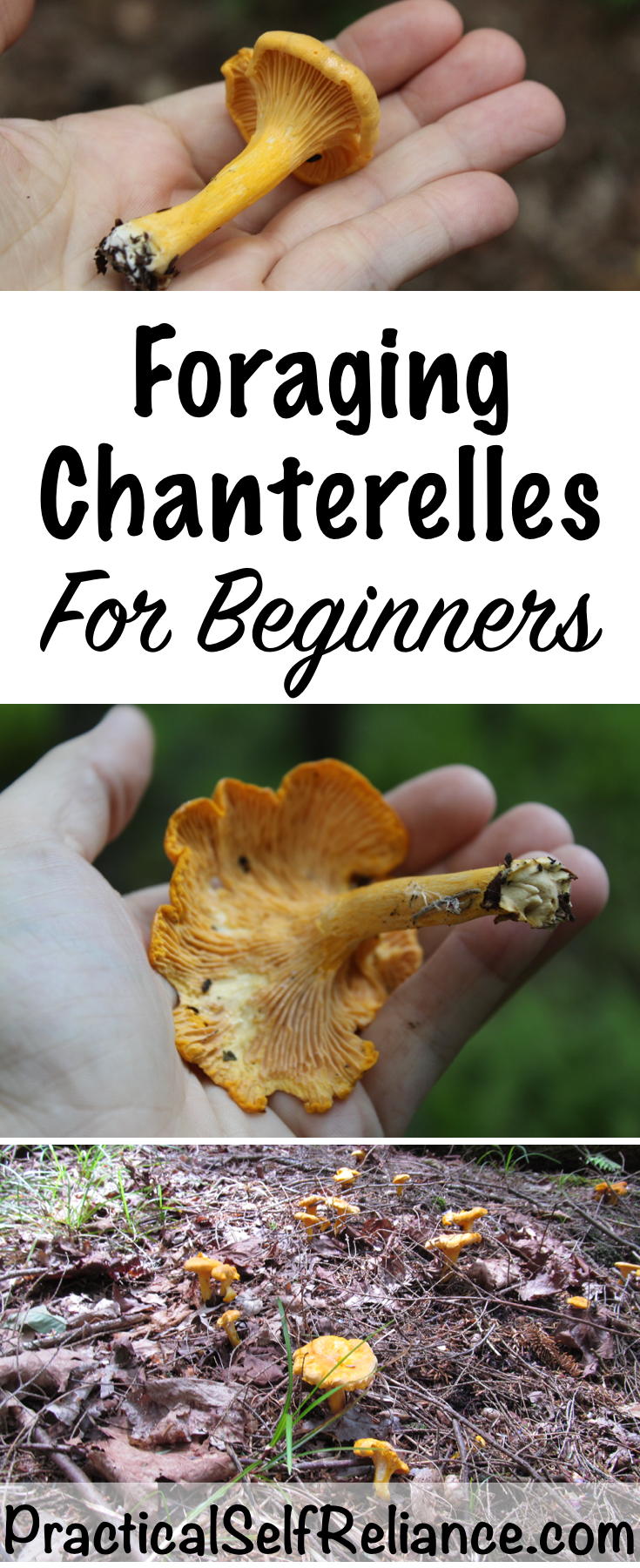 Foraging Chanterelles for Beginners