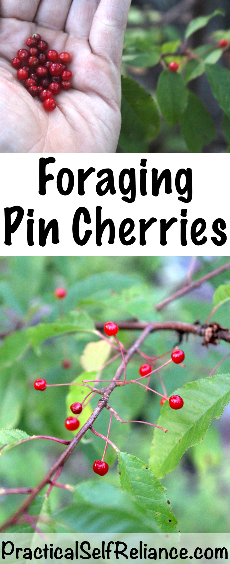 Foraging Pin Cherries ~ Wild Foraged Cherries