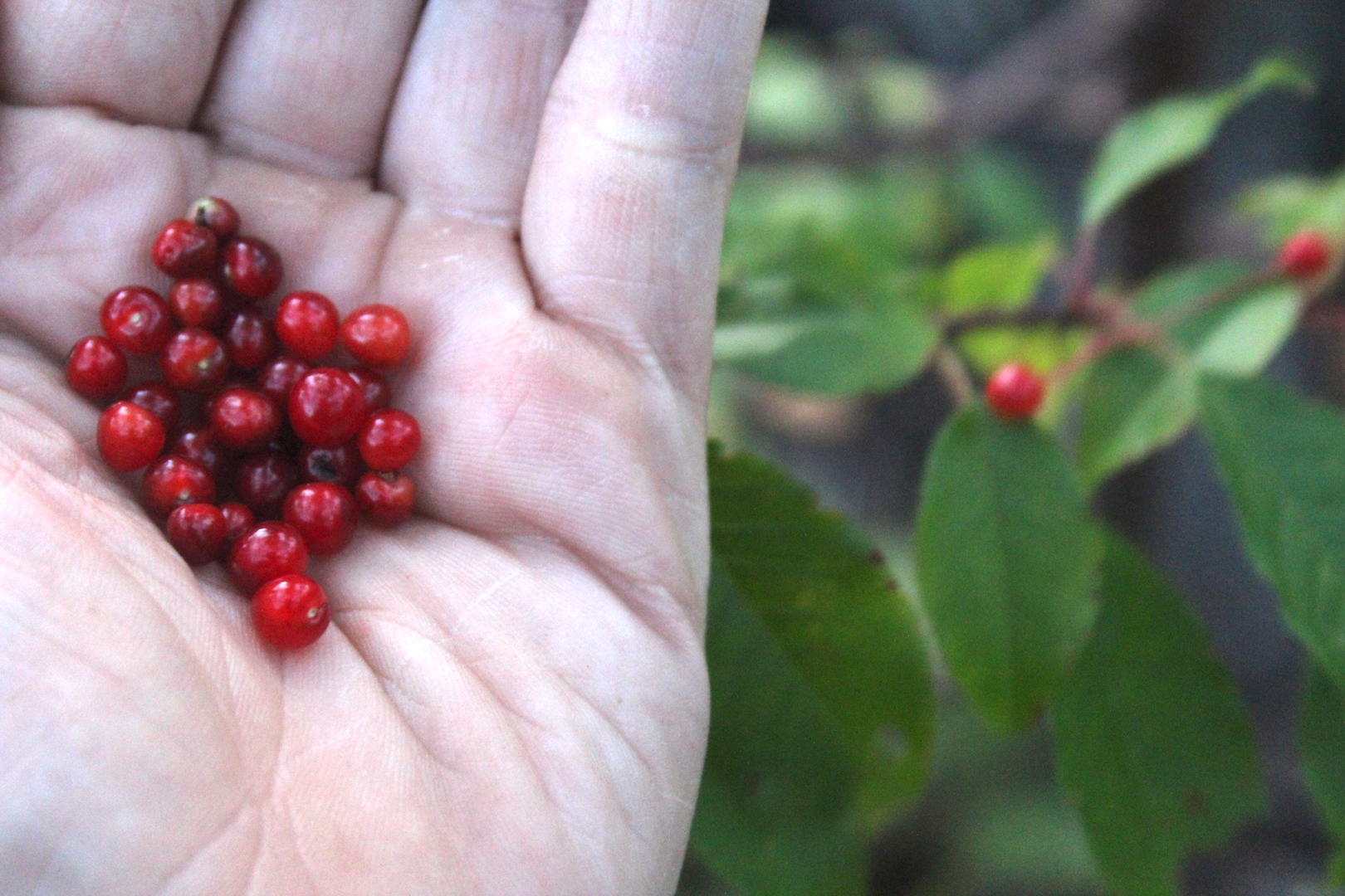 Foraging Pin Cherries