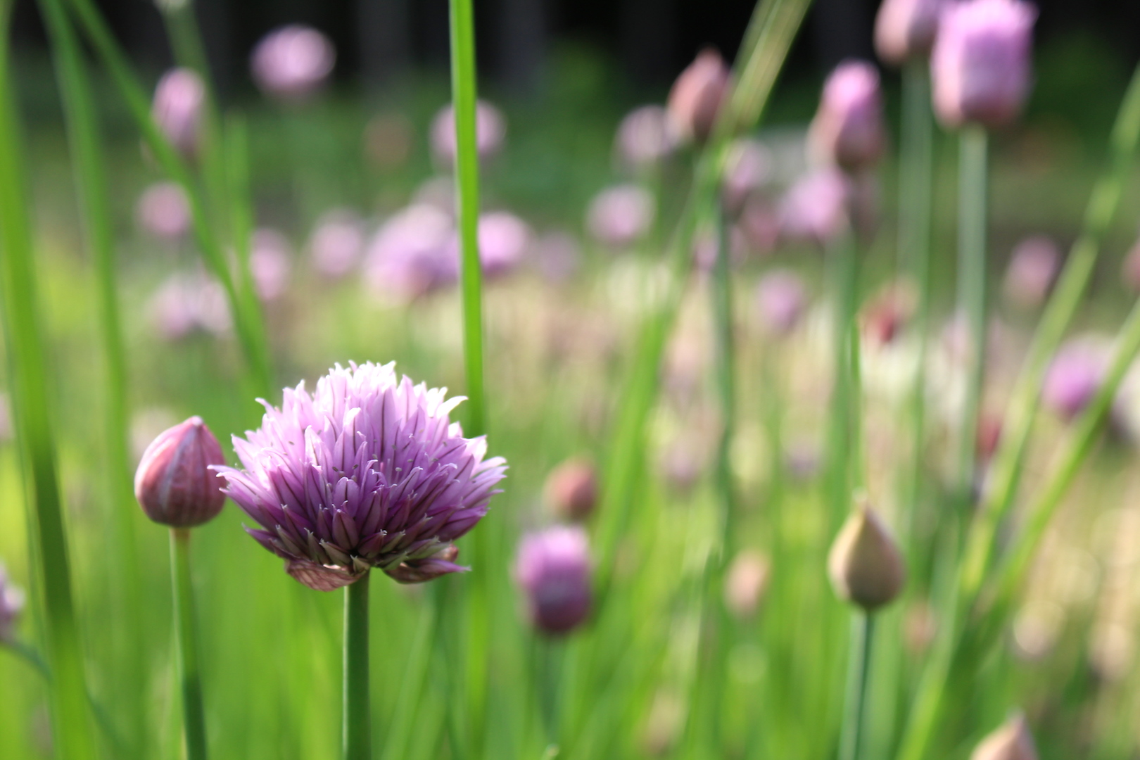Chive Flower Closeup