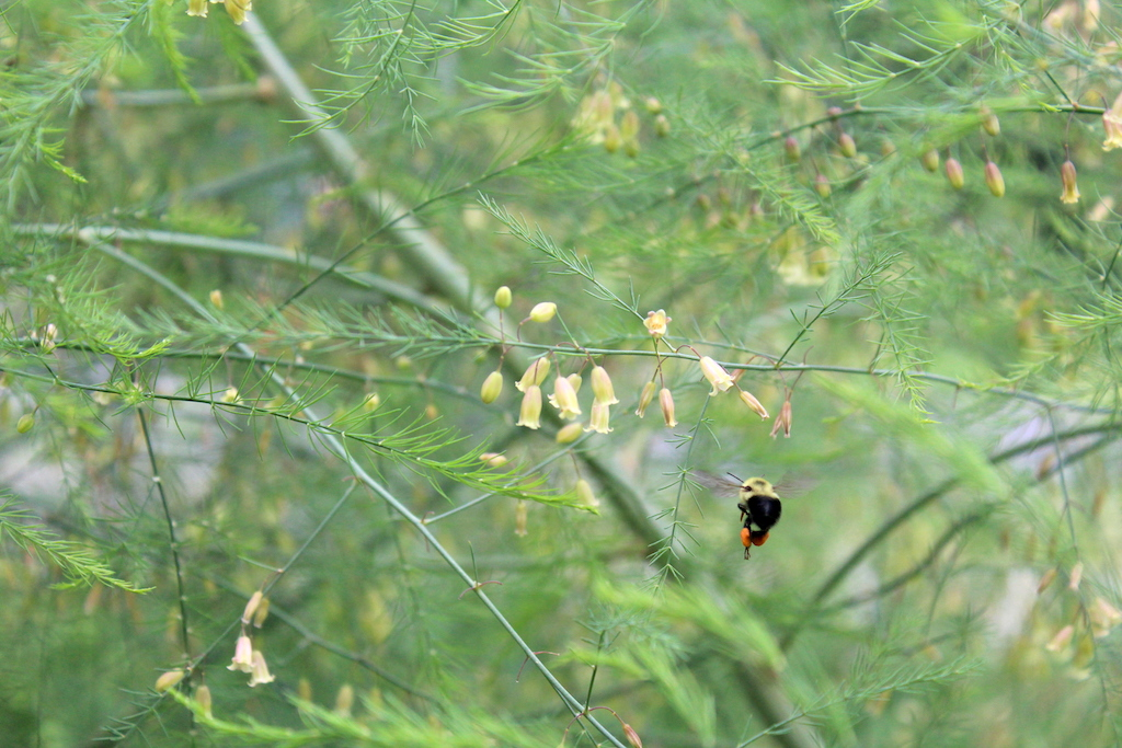 Bee Pollinating Asparagus