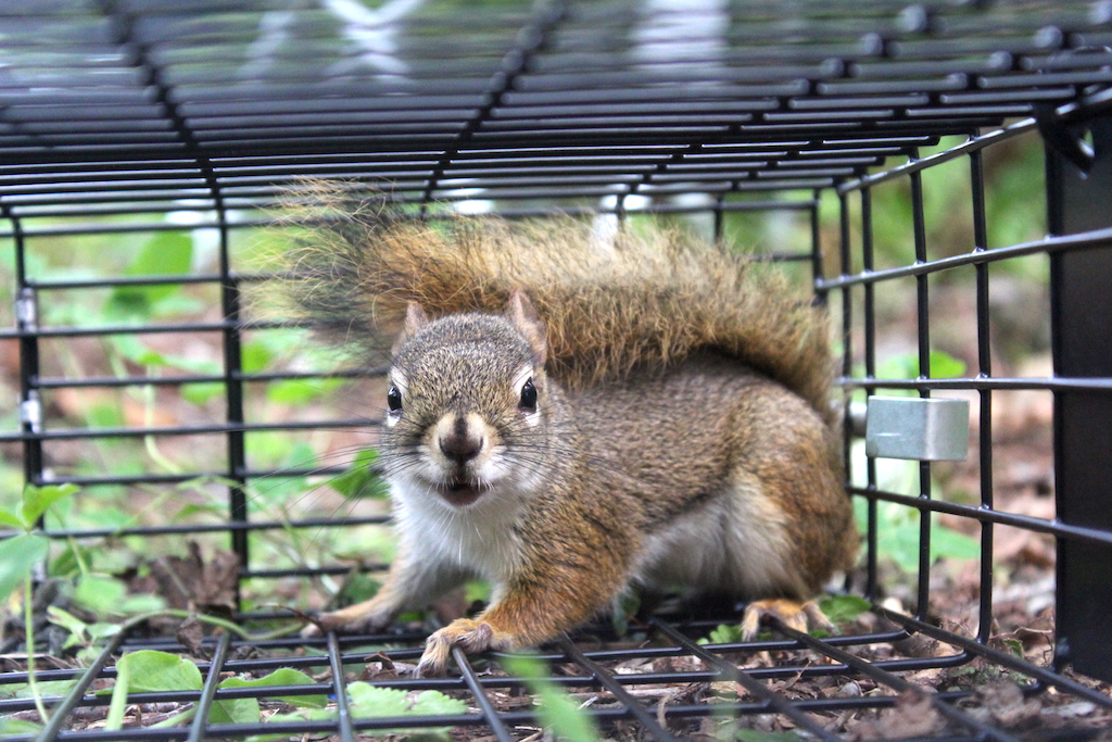 Best (and Worst) Squirrel Traps