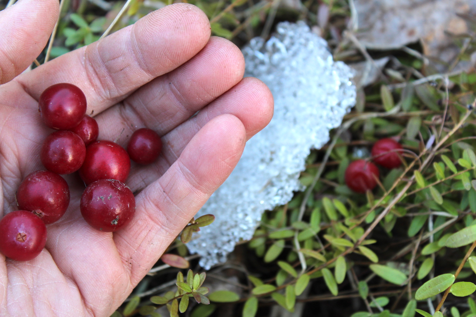 Winter foraging cranberries