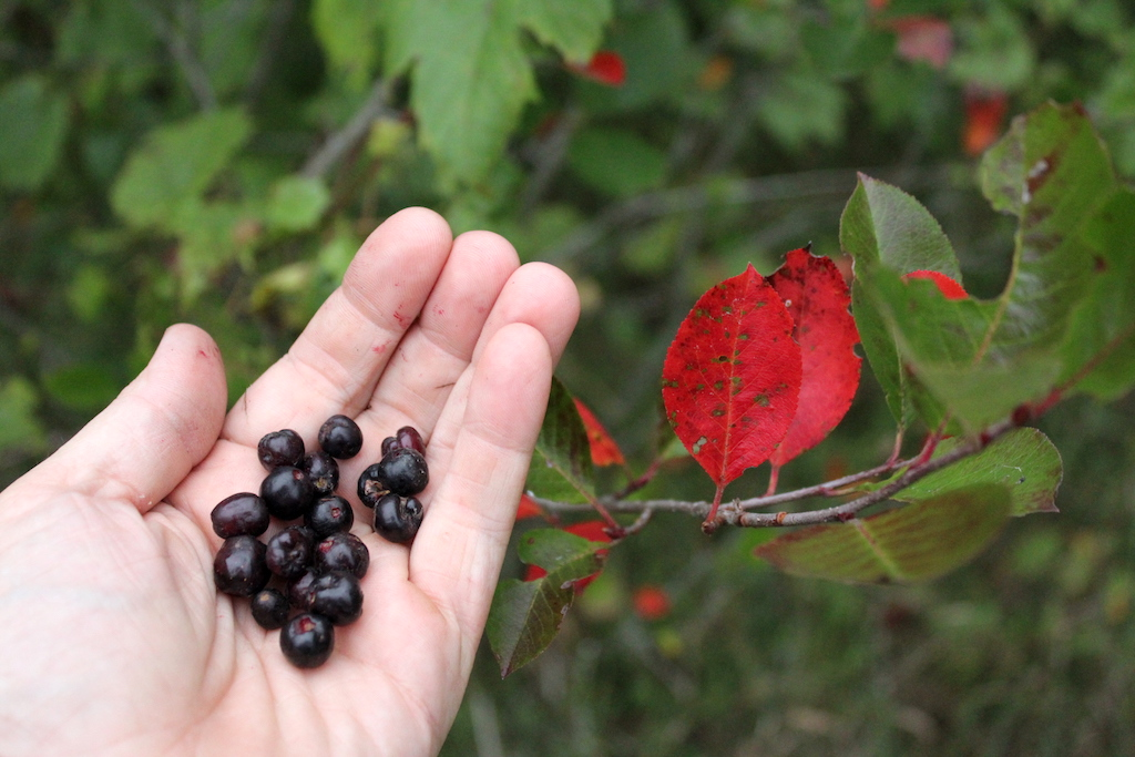 Foraging Black Chokeberry