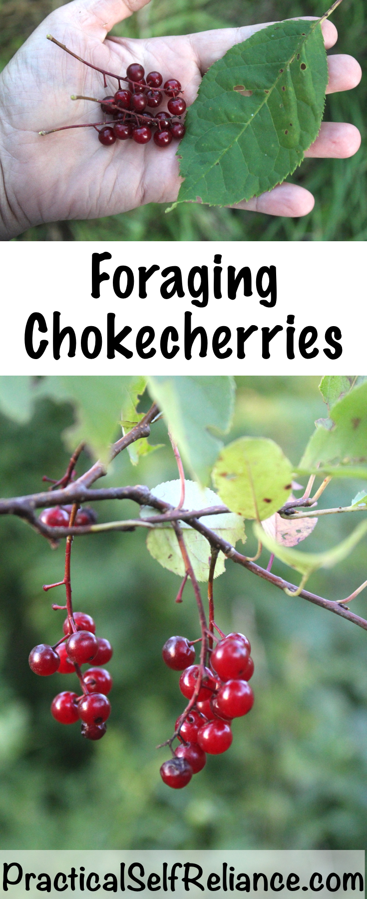 Foraging Chokecherries ~ Identifying and Using Chokecherries