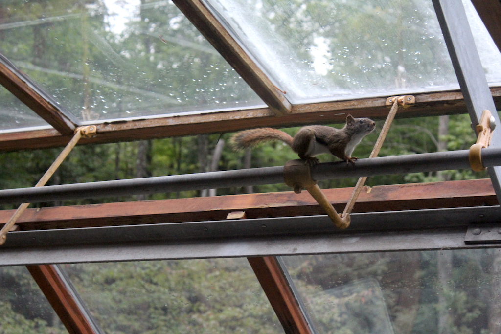 Squirrel in our Greenhouse