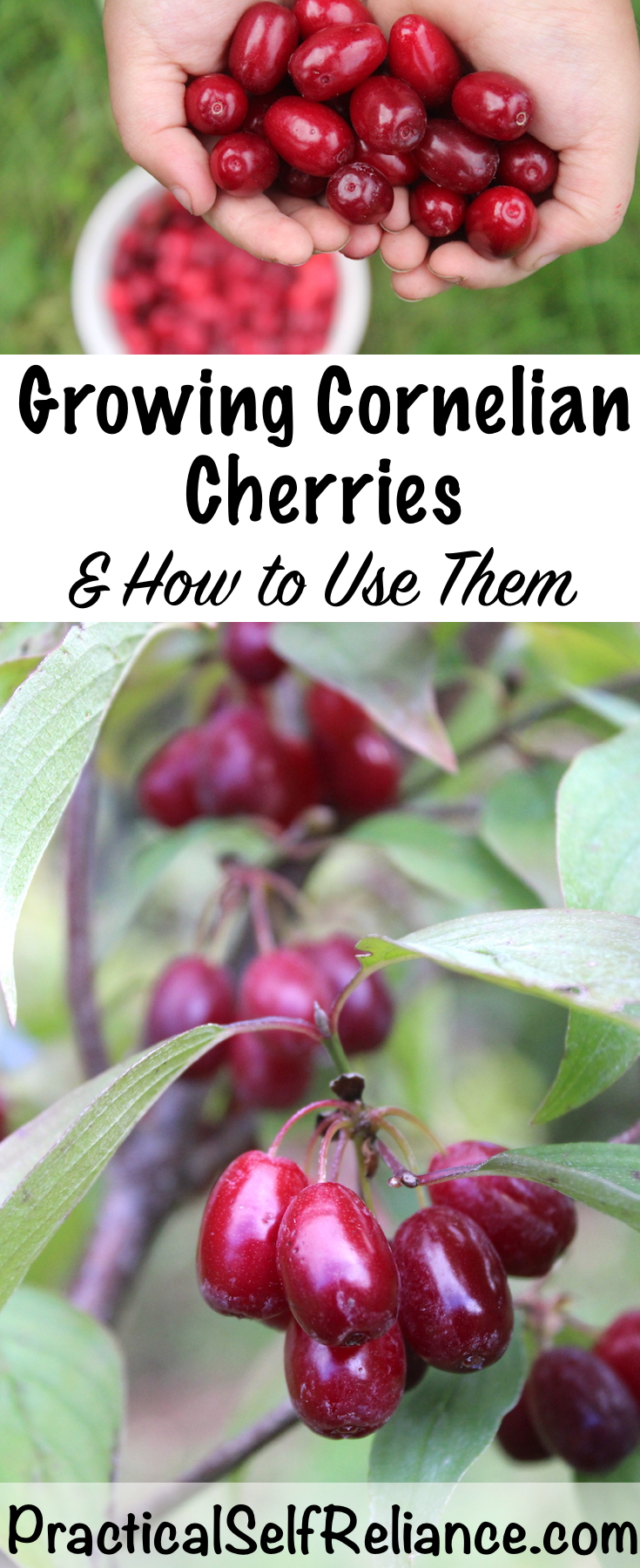 Growing Cornelian Cherries ~ How to Grow and Use Cornelian Cherries ~ Perfect for Permaculture Plantings