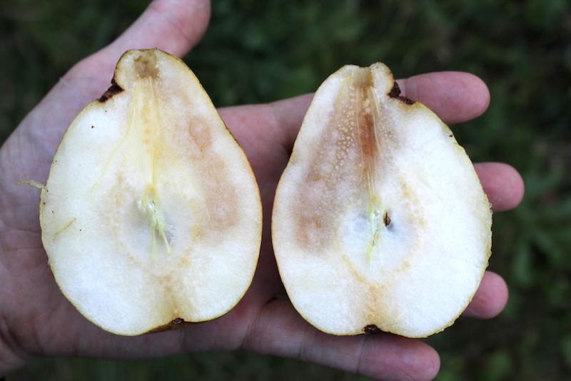 Overripe Pear Interior