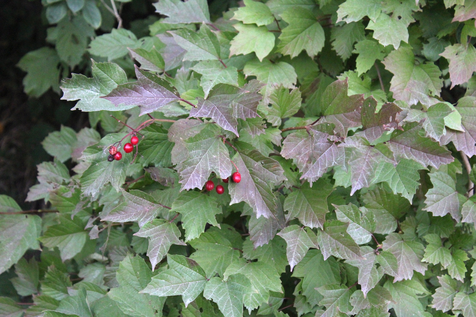 V. Edule Highbush Cranberry