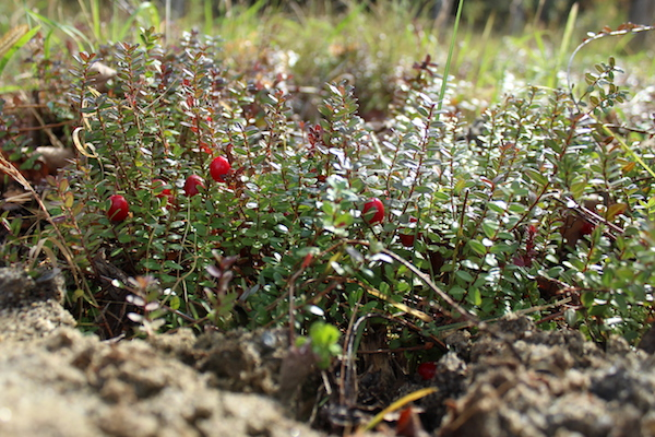 Cranberry Plant Yield