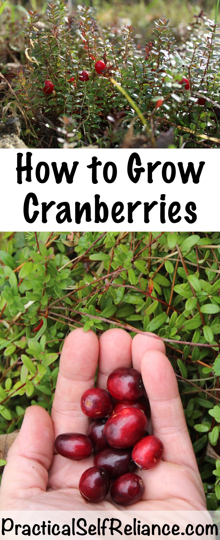 How to Grow Cranberries