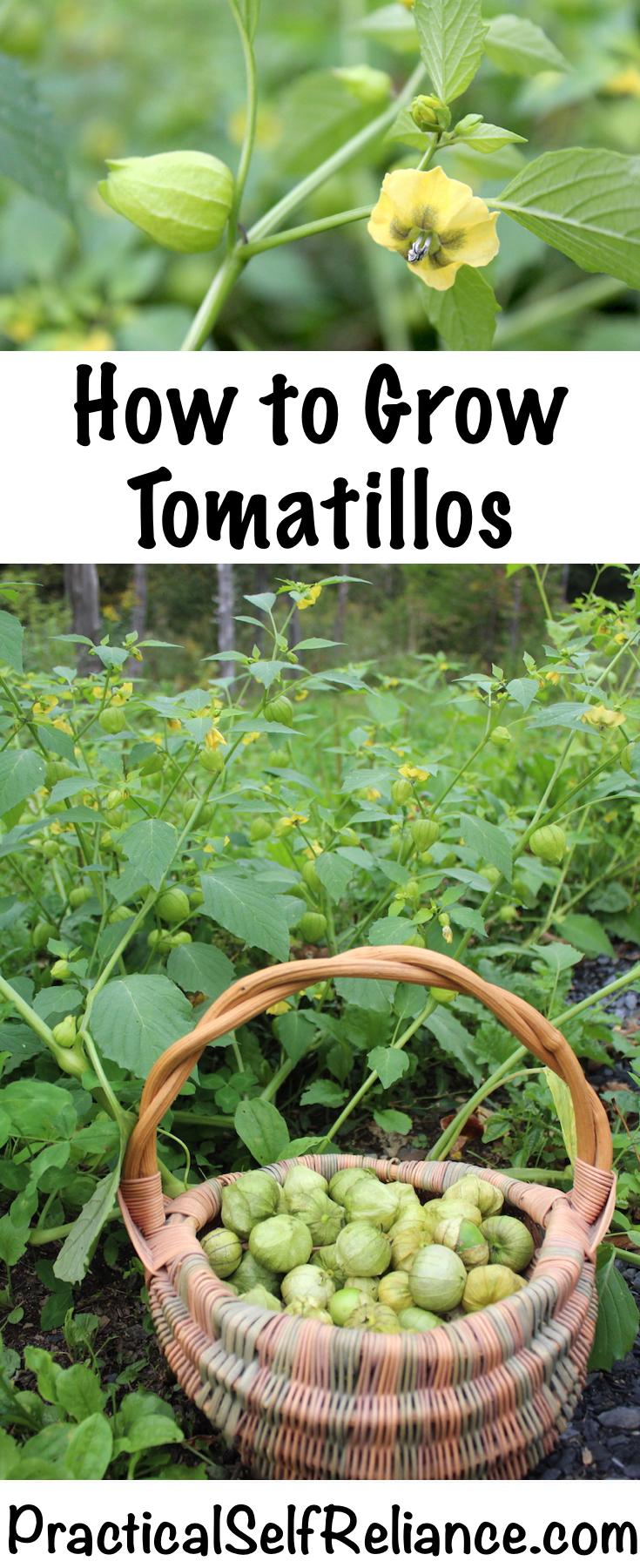How to Grow Tomatillos ~ Growing Tomatillos in the Garden