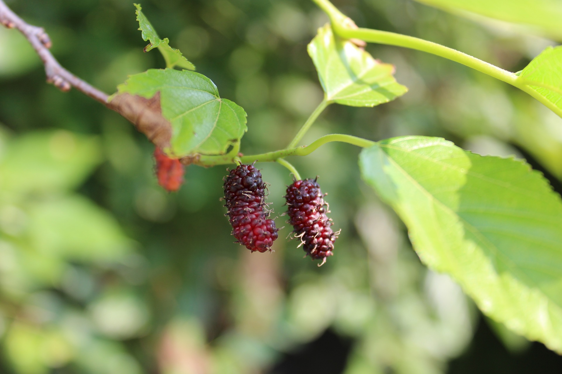 Growing Mulberries in Your Backyard