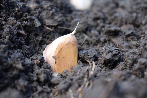 How to Plant Garlic in the Fall