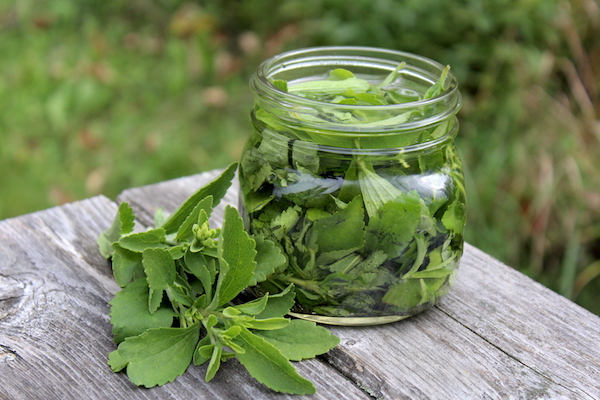 How to Make Stevia Extract (Liquid or Powder)