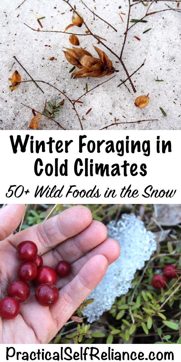 Winter foraging in cold climates ~ 50+ wild foods in the snow