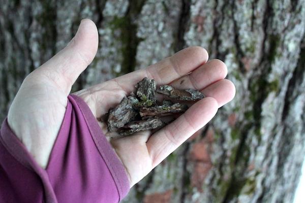 Harvesting edible Pine Bark for flour