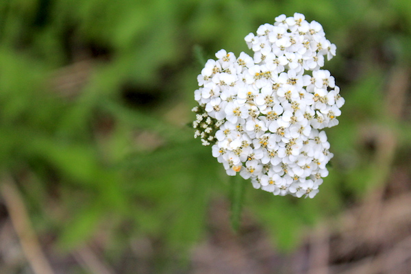Foraging and Using Yarrow (Achillea millefolium)