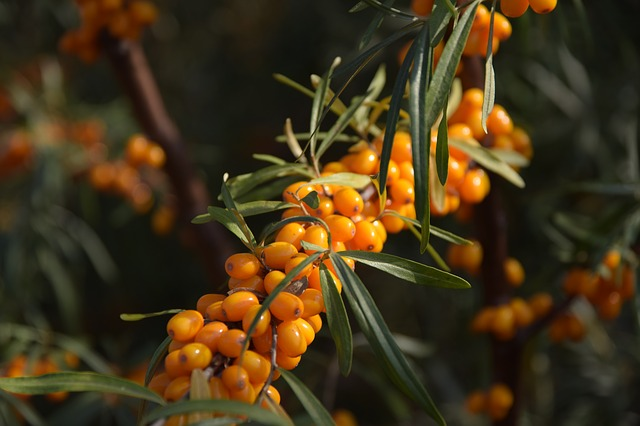 How to Grow Sea Buckthorn (Sea Berries)
