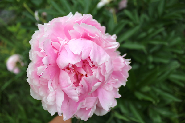How to Eat a Peony (and other ways to use them)