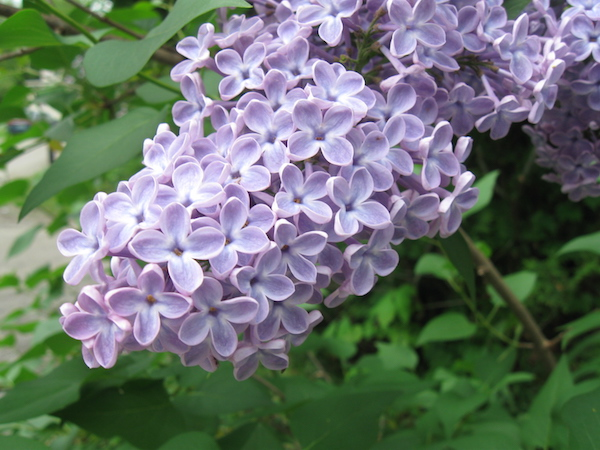 How to Eat Lilacs (and Other Ways to Use Them)