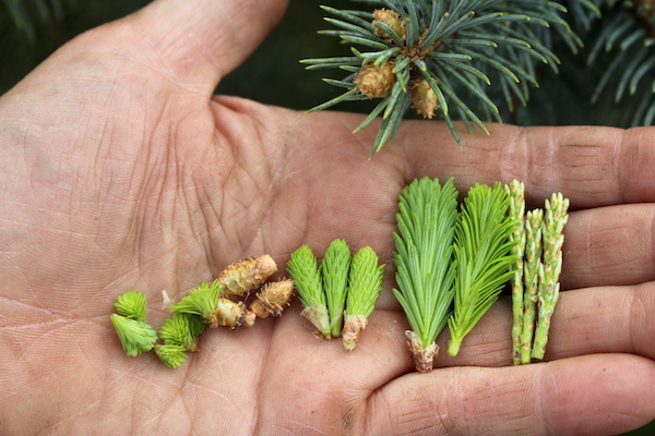 Conifer Tips ~ From left to right: Hemlock tips, Spruce Tips, Young Fir Tips, Older Fir tips and Pine Shoots