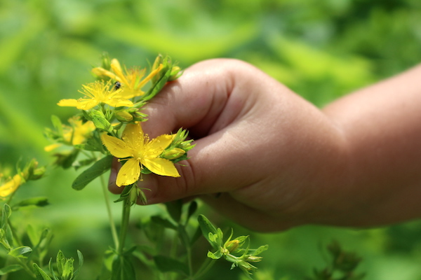 St. Johns Wort Plant ~ Identification and Uses