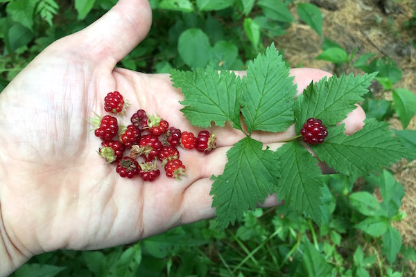 Foraging Red Blackberries (Rubus pubescens)