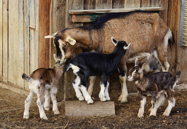Raising Dairy Goats Off the Grid