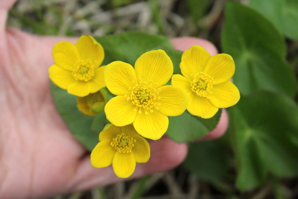 Foraging Marsh Marigold (Caltha palustris)