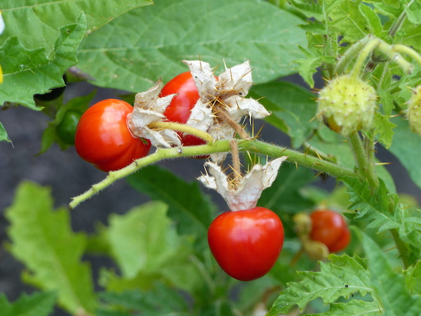 How to Grow Litchi Tomato (Solanum sisymbriifolium)