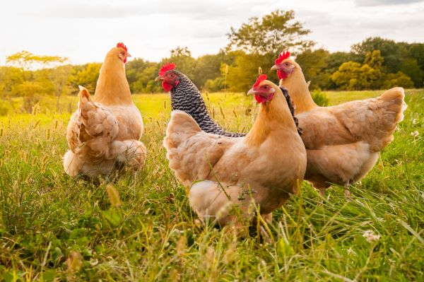 How Much Does it Cost to Raise Chickens?