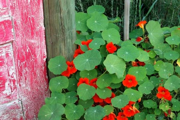Nasturtium Medicinal Uses: 8 Ways to Use This Medicinal Flower
