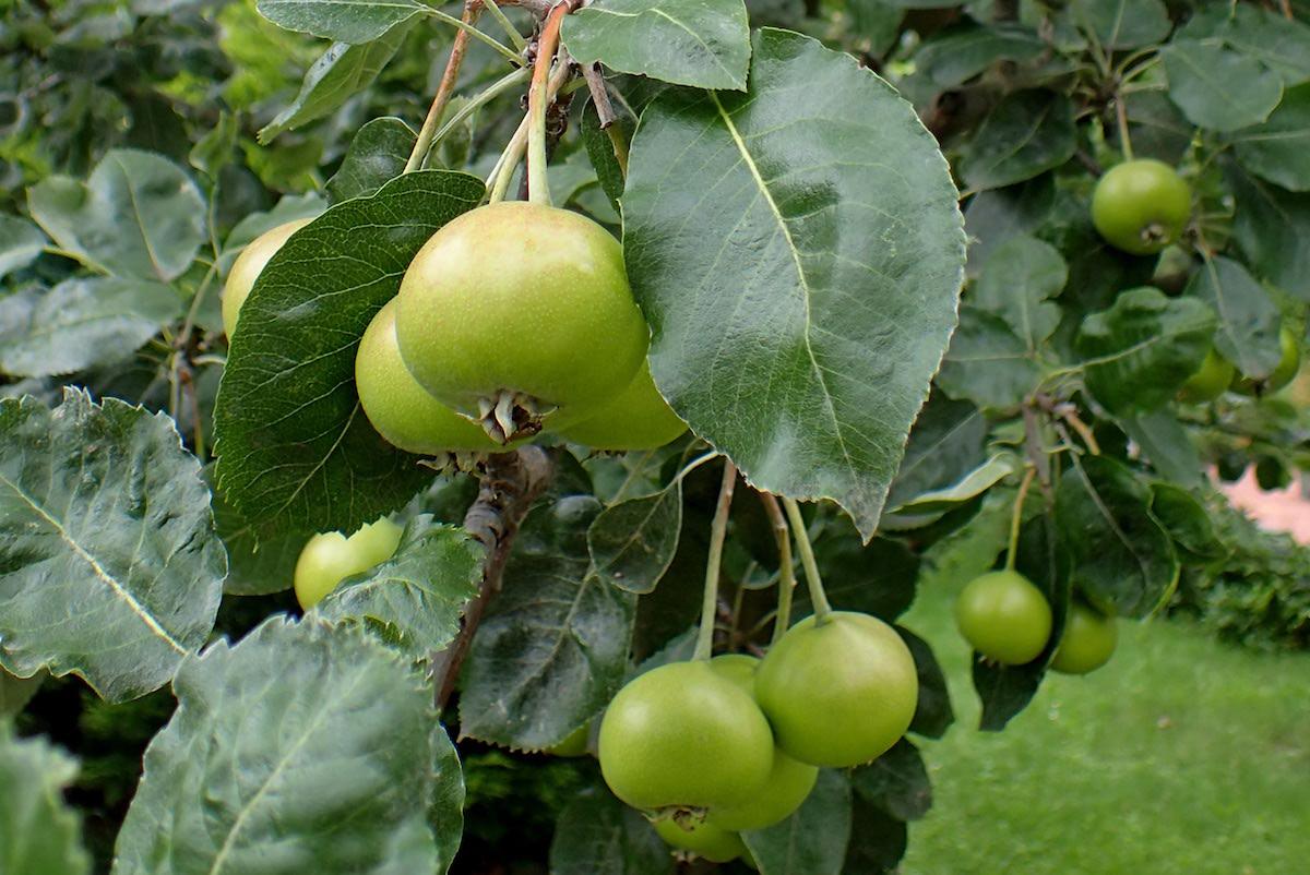 How to Grow Shipova (Sorbopyrus sp.)