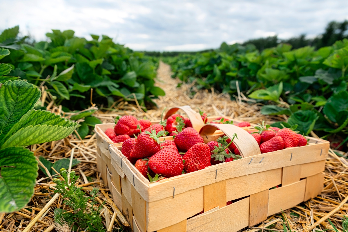 20+ Ways to Preserve Strawberries