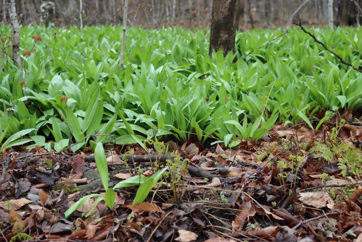 Ramps ~ Identifying & Foraging Wild Leeks (Allium tricoccum)